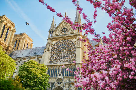 Beautiful cherry blossom trees near Notre-Dame cathedral in Paris, France Stock fotó