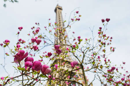 Cherry blossom season at spring in Paris, France. Beautiful magnolia tree in full bloom with the Eiffel tower