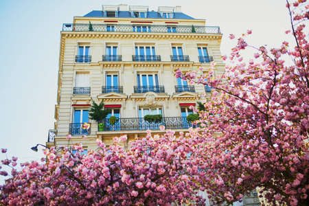 Cherry blossom season at spring in Paris, France. Beautiful sakura tree in full bloom