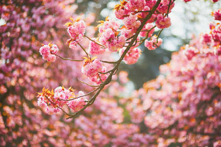 Branch of a cherry tree with pink flowers in full bloom. Cherry blossom season at spring