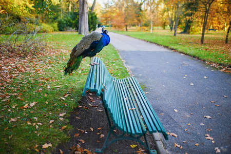 Peacock sitting on the bench in Bagatelle park of Bois de Boulogne in Paris, France
