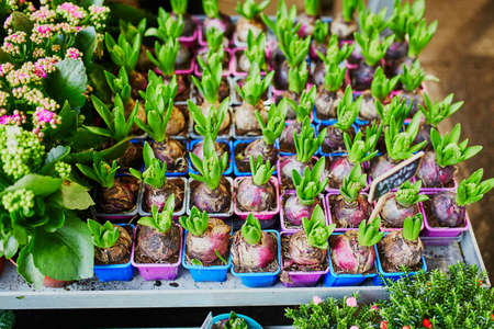 Many hyacinths in outdoor flower shop in Paris, France
