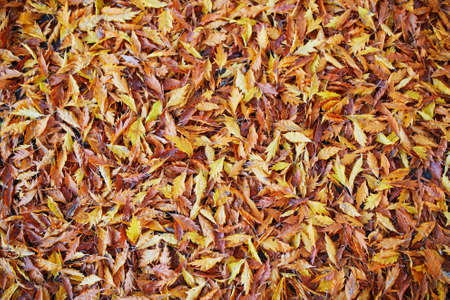 Grass covered with bright and colorful autumn maple leaves on a fall day