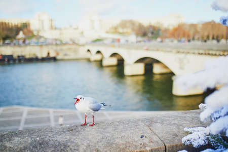 Seagull screeching on the Seine embankment in Paris, France