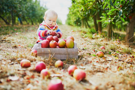 Adorable baby girl sitting on the ground near crate full of ripe apples. Little child eating fruits. Organic food for kids, baby led weaning Stock Photo