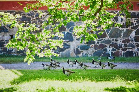 Family of Canada geese in Suomenlinna, Helsinki, Finland