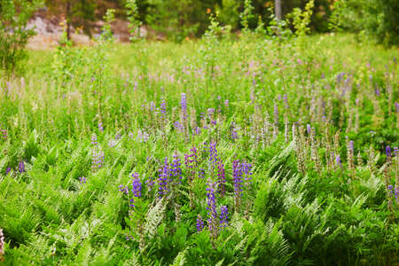 Closeup of various green plants and flowers growing in Finnish forests or countryside. Nature of Finland