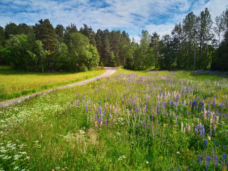 Scenic aerial view of green fields covered with lupines in full bloom in Finnish countryside. Nature of Finland 写真素材