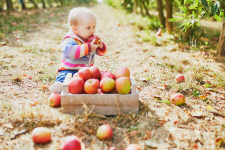 Adorable baby girl sitting on the ground near crate full of ripe apples. Little child eating fruits. Organic food for kids, baby led weaning
