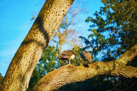 Two female peacocks on a branch in Bagatelle park of Bois de Boulogne in Paris, France Banco de Imagens