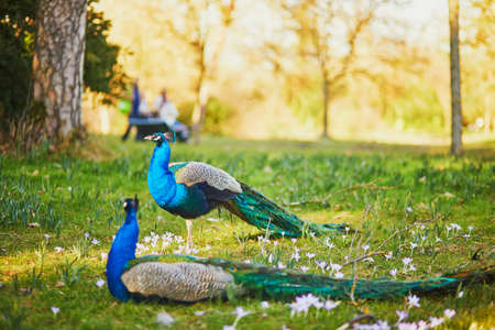 Peacocks in Bagatelle park of Bois de Boulogne in Paris, France