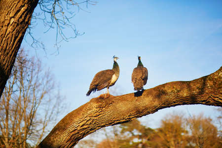Two female peacocks on a branch in Bagatelle park of Bois de Boulogne in Paris, France Stock fotó