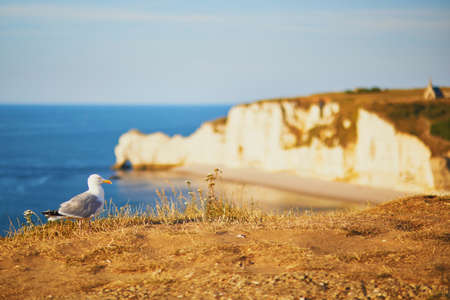 Seagull on the top of a cliff in Etretat, French village know for its beautiful white chalk cliffs and natural arches. Seine-Maritime department of Normandy in France.