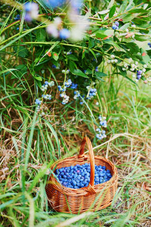 Fresh ripe delicious blueberries in basket under the bush on organic farm. Healthy organic food