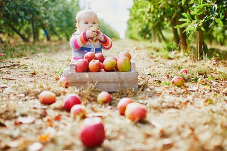 Adorable baby girl sitting on the ground near crate full of ripe apples. Little child eating fruits. Organic food for kids, baby led weaning Reklamní fotografie