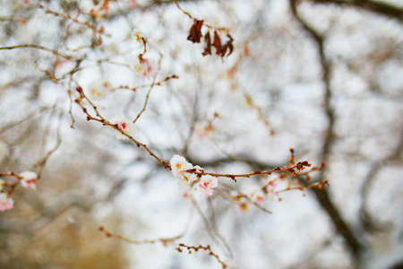 Snow covering branches of tree with flower buds. Unusual weather conditions in Paris, France