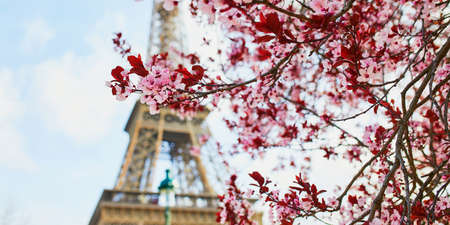 Beautiful pink cherry blossom near the Eiffel tower in Paris, France