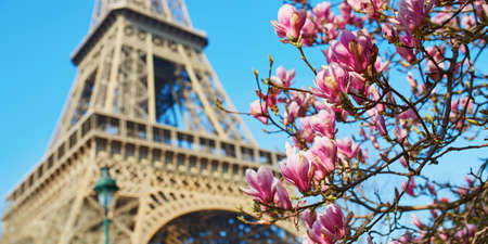 Pink magnolia in full bloom and Eiffel tower over the blue sky. Spring in Paris, France.