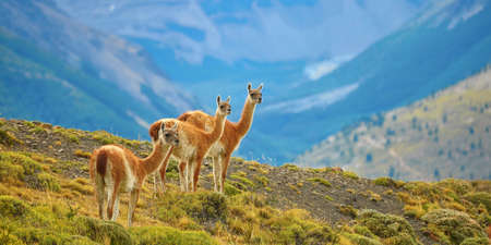 Three guanacoes in Torres del Paine national park, Patagonia, Chile  写真素材