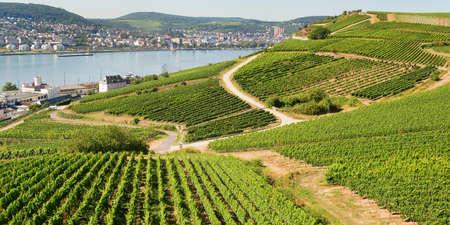 Vignobles à Rudesheim am Rhein en Allemagne