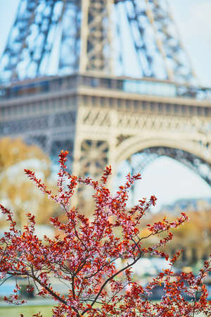 Cherry blossom flowers in full bloom with Eiffel tower in the background. Early spring in Paris, France Stock Photo