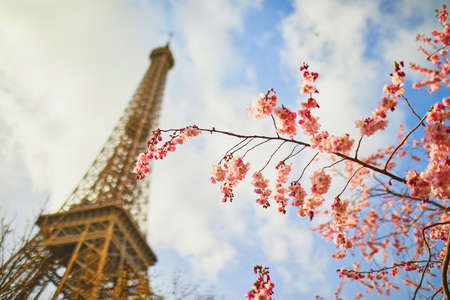 Cherry blossom flowers in full bloom with Eiffel tower in the background. Early spring in Paris, France