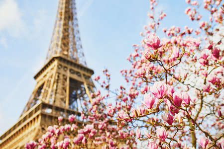 Pink magnolia in full bloom and Eiffel tower over the blue sky. Spring in Paris, France