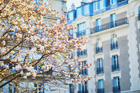 Closeup of pink magnolia in full bloom near residential building in Paris, France