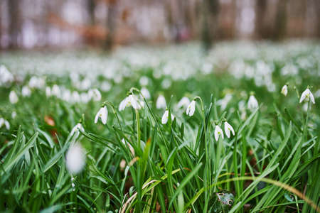Many beauitul white snowdrops in forest