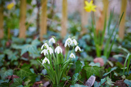 Beautiful white snowdrops in the grass