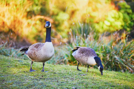 Couple of Canada geese (Branta canadensis) on the grass in Park Bagatelle, Paris, France