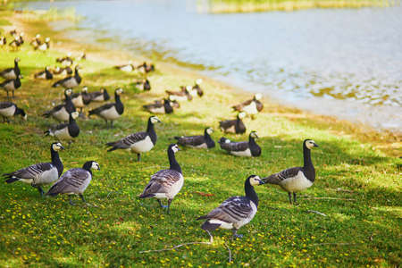 Large flock of Canada geese near the lake in Finnish countryside Stockfoto