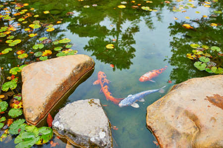 Colorful koi in fish pond in japanese garden