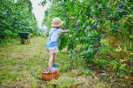 Adorable toddler girl in straw hat picking fresh organic plums on farm. Delicious healthy snack for small children. Outdoor summer activities for little kids
