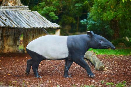 Malayan tapir (tapirus indicus) in zoo in Paris, France