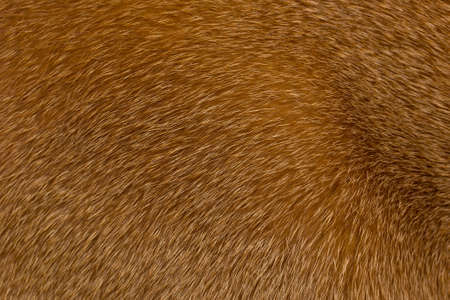 short haired: Short haired red Abyssinian cat fur structure