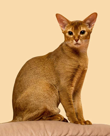 short haired: Red sorrel short haired Abyssinian cat sitting