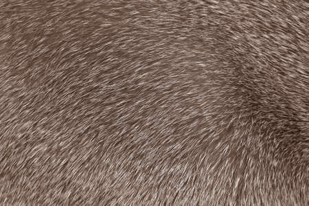 short haired: Short haired grey Abyssinian cat fur structure Stock Photo