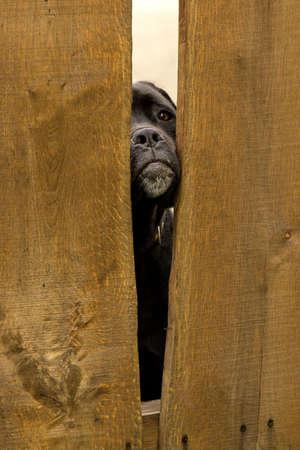 sadly: Big black dog looking sadly through the fence Stock Photo