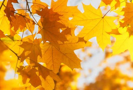 Foglie di acero gialle luminose, fondo all'aperto di stagione autunnale