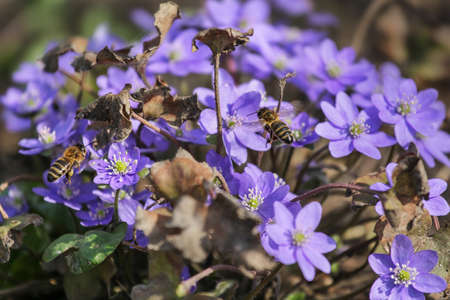Liverleaf (liverwort) flowers in spring forest, natural background, selective focus Stock Photo