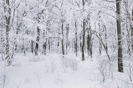 Winter scene background, oak forest covered with frost