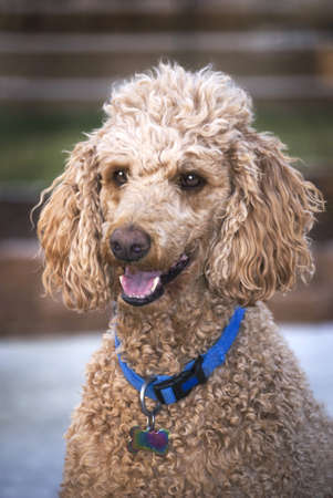 Vertical three quarters image of a Standard Poodle with a happy expression.