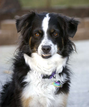 Cute, tri-colored Miniature Australian Shepherd with brown eyes showing her bottom teeth. Stock Photo
