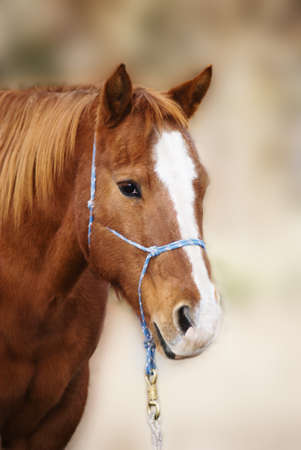 Vertical three quarter image of a pretty sorrel red quarter horse with a blaze, wearing a rope halter.