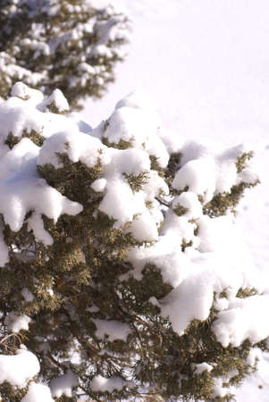Vertical image of pure, fresh, powdery snow mounding on the blue, berried branches of Cedar (Juniper) trees with bright white snow blanketing the ground beneath them.