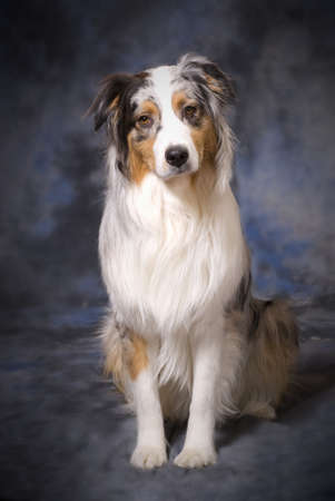 Vertical image of a full body shot of a beautiful purebred Australian Shepherd on a mottled blue and grey background.