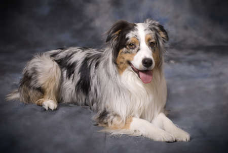 Horizontal image of a beautiful purebred Blue Merle Australian Shepherd on a mottled blue and grey background. Stock Photo