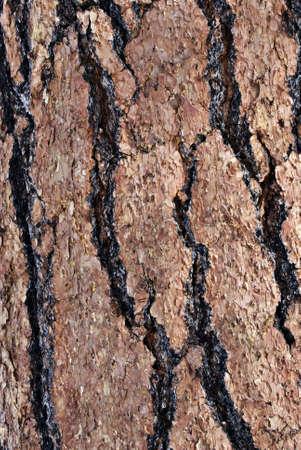 ponderosa: Vertical macro image of veined and textured ponderosa pine bark.