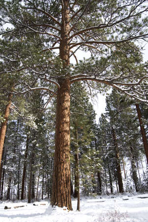 ponderosa: Vertical image of a tall ponderosa pine tree standing in a snowy forest.